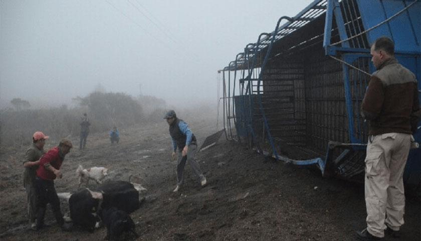Camión que transportaba vacas volcó en ruta 23