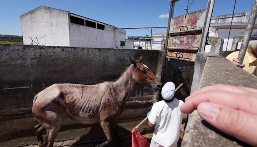 Mercado clandestino y de maltrato: caballos viejos, lastimados o robados al matadero